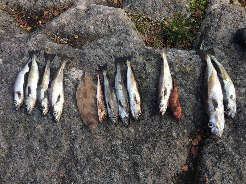Pollack angeln boot norwegen Flunder Glattbutt