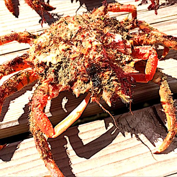 Spearfishing Aragne Sea spider France Frankreich BretagneTutorial Guide Spots harpunieren laws restrictions guide tutorial