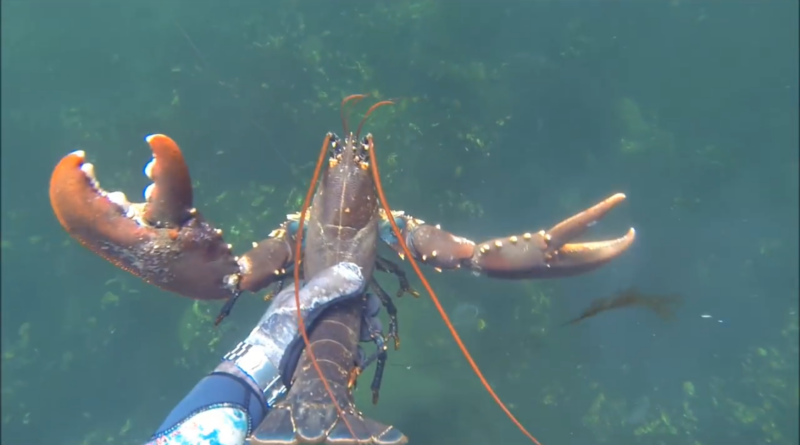 Lobster Hummer big Crayfish catch and cook by hand Spearfishing France Denmark